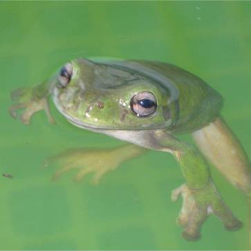 White Lipped Green Tree Frog body 90mm long Moved in to our blow-up pool