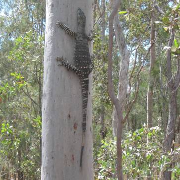 Cheeky Goanna - was coming inside the house! Only small - only 1200mm