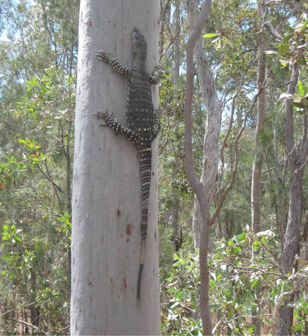 Goanna - was coming inside the house! Only small - only 1200mm