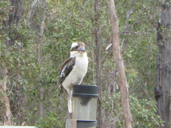 Kookaburra on the rain gauge