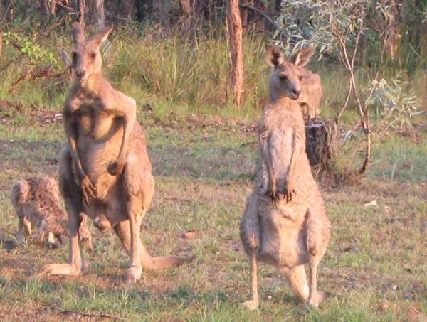 Kangaroos Male & Female at Sunset