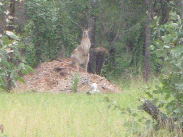 Randy the Roo - 2Mt Tall & definitely horny. On heat he was a bit aggressive to women!