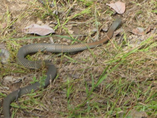 Fast moving, it had a frog sticking out of it's mouth. 900mm long