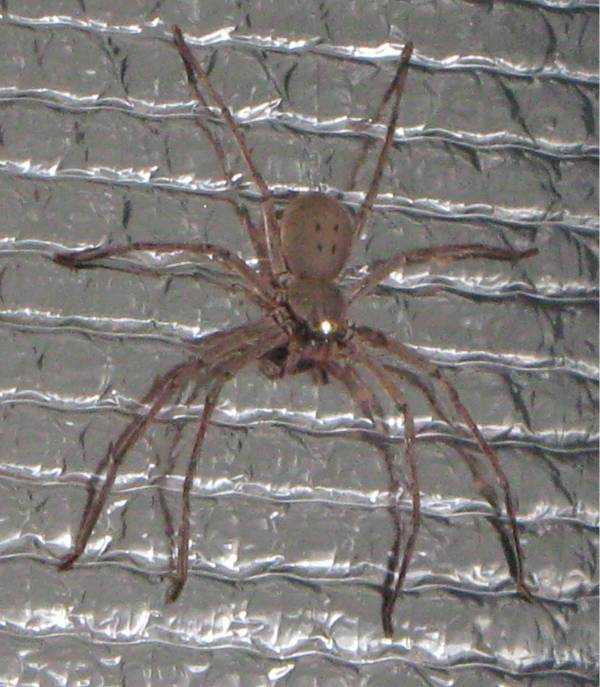 Huntsman as big as an average man's hand, and fast! 150mm across
