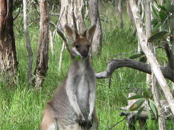 Classic - Agile Wallaby (Pretty Face Wallaby)