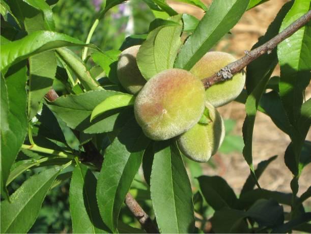 Tropical Peach