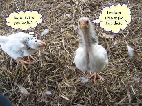 SlideShow Lap Chicken 3