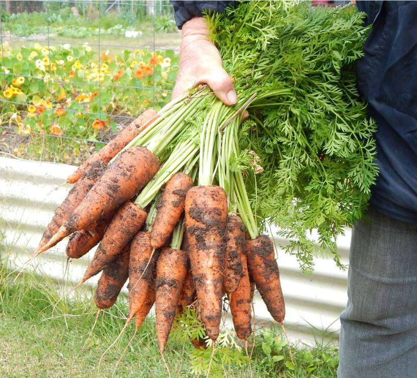 Carrots Big Bunch