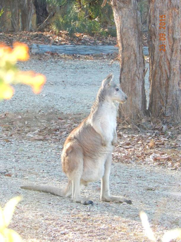 Wallaroo Pale Face 2