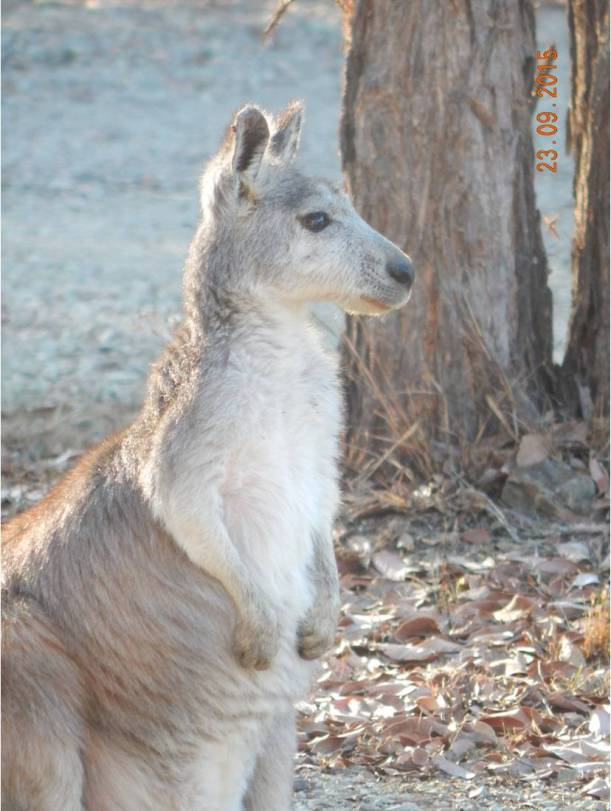 Wallaroo Pale Face 3