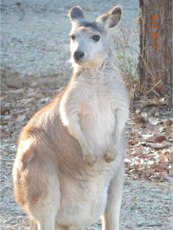 Eastern Wallaroo - with whom we share habitat. We call her 'Paleface'