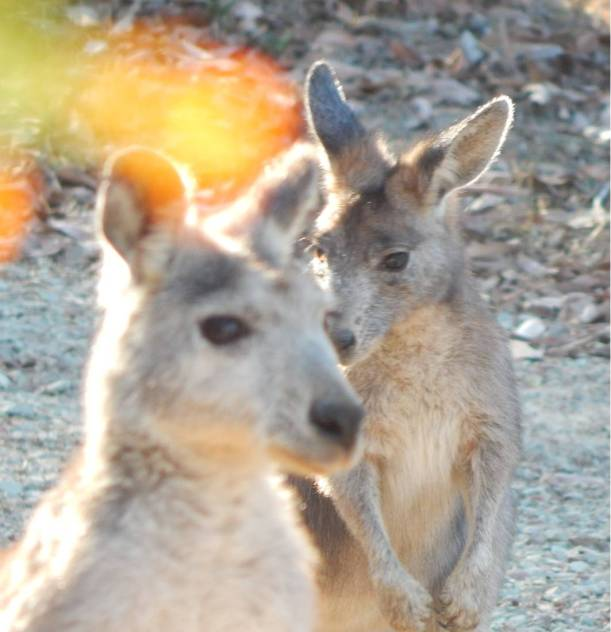 Wallaroo Pale Face 5