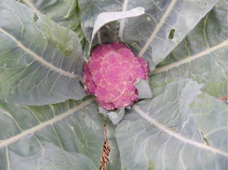 cauliflower-purple